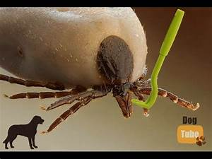 Zecke Entfernen Hund Kopf Steckt : wie entfernt man eine zecke beim hund richtig die beste und einfachste methode youtube ~ Orissabook.com Haus und Dekorationen