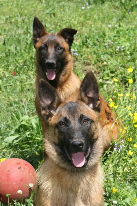 Belgian Malinois Vs German Shepherd Shedding by Shepherd Belgian Malinois Breeds Picture
