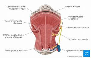 Tongue  Anatomy  Muscles  Neurovasculature And Histology