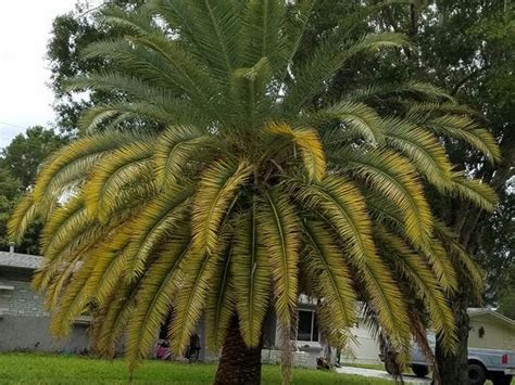 palm fronds yellow