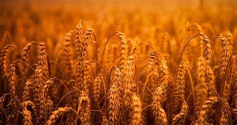 wheat grain hdr  photo  pixabay