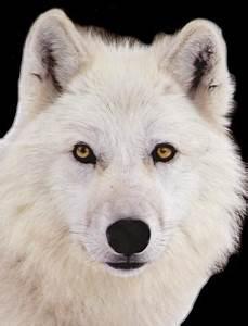 Bébé Loup Blanc : loupow ~ Farleysfitness.com Idées de Décoration