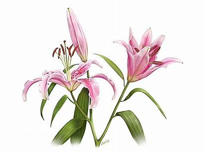 Stargazer Lily Oriental Drawing Lilies Artworks Painting