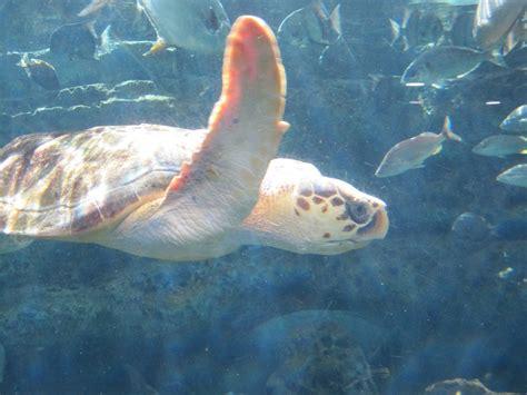 january loggerhead turtle