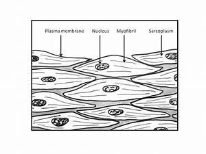 Muscle Cells Drawing