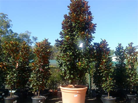 robertdonatonurseries news from and about the nursery at teven in the northern rivers district
