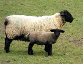 sheep に対する画像結果