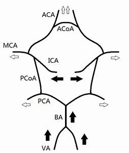 Structure Of The Circle Of Willis  Cow   The Solid And