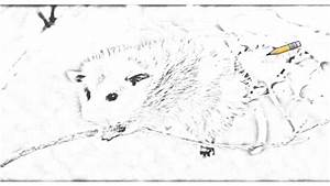 Auto Draw 2 Baby Virginia Opossum Youtube