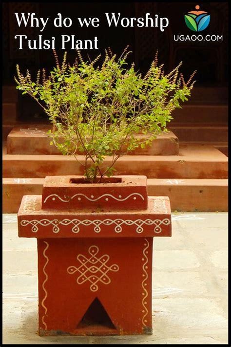 worship tulsi plant tulsi plant tulasi plant plant decor