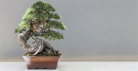bunga bonsai beringin