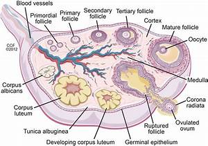 1 This Schematic Of The Ovary Depicts The Developing
