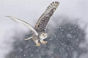 Snowy Owl Migrations | Snowy owl, Owl and Bird