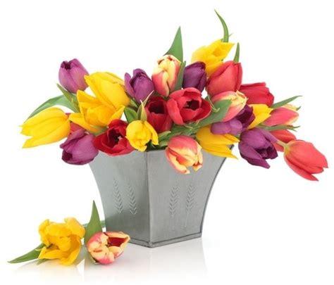bulbi di tulipano in vaso tulipani olandesi bulbi tulipani olandesi bulbi