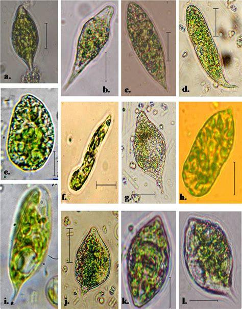 Diagram Euglena Sp by Photomicrographs Of A Euglena Gracilis B E Viridis C