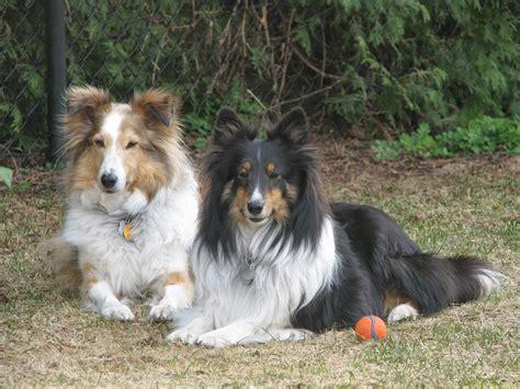 sheltie birthday happy dogs purebred golden sugar 10th times retriever