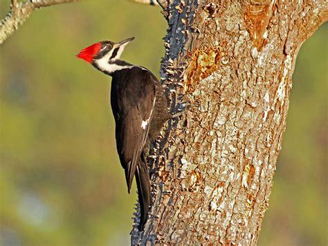 north carolina mountain birds pileated woodpecker