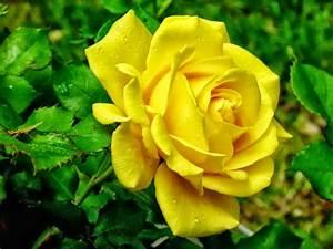 All 4u HD Wallpaper Free Download : Yellow Rose Wallpapers ...