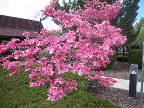 trees that pink flowers top 28 trees with pink flowers names of flowering trees images pink flower tree 2 by