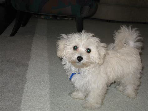 maltipoo dog breeders profiles  pictures dog breeders