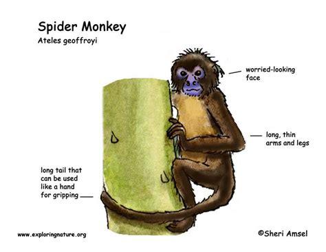 monkey spider