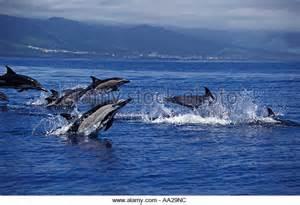 Atlantic Ocean Dolphins