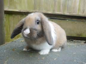 Baby Dwarf Lop Bunnies for Sale
