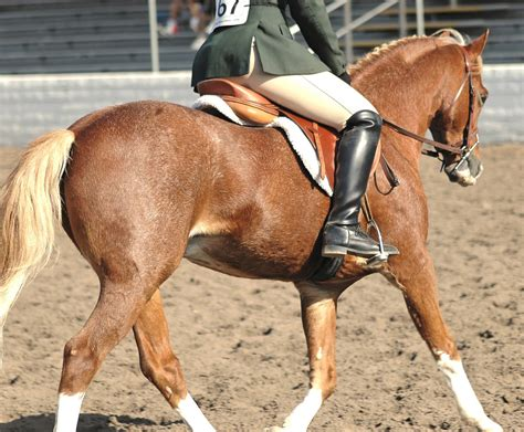 horse breeds welsh children pony breed types often excellent mount shows club