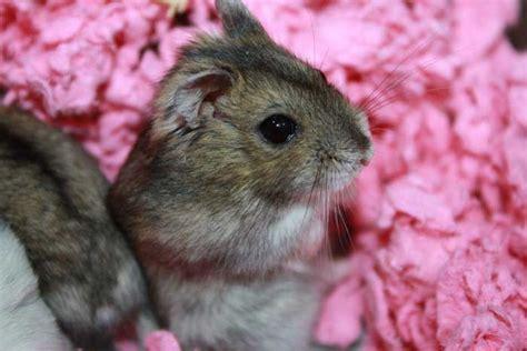 les hamsters inspirations desjardins
