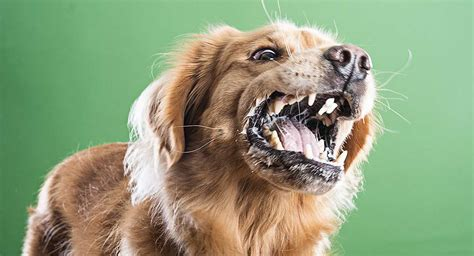 food aggression  dogs   cure