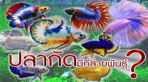 รวบรวมสายพันธุ์ปลากัดยอดนิยม ที่คนนิยมเลี้ยงมากที่สุด ...