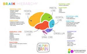 Hierarchy of Brain Development