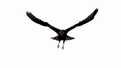 Raven Ravens Hebrew Culture