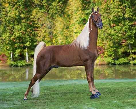 horse breeds tennessee walk walker walking popular most charlie stud conformation breed horses tail sorrel mane flax fee twhbea morgan