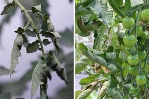 Tomatenblätter Rollen Sich Ein : tomaten lassen bl tter h ngen und sind schlapp ursachen ~ Lizthompson.info Haus und Dekorationen