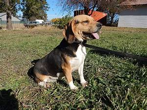 Full Grown Pocket Beagle