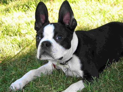 boston terrier shedding puppies breed information image pictures