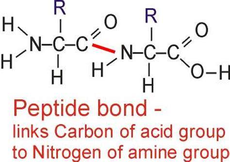 polymerisation of amino acids gcse revision biology
