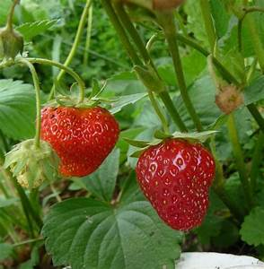 Strawberries: Plant Care and Collection of Varieties ...
