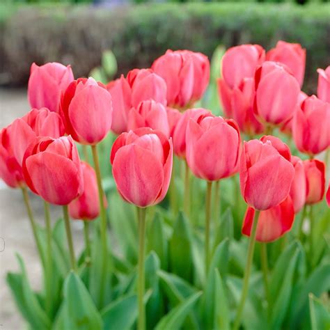 van zyverden butter cups bulbs ranunculus pink set