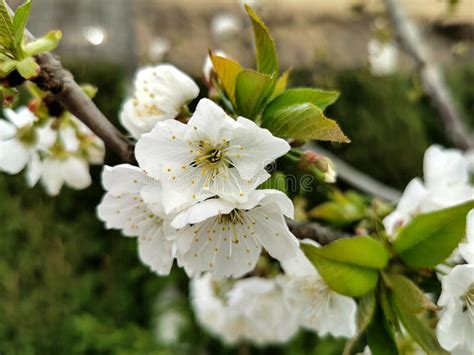 Cherry blossom on branch stock photo Image of japanese