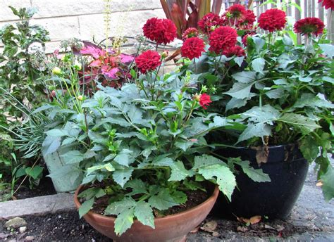 plant dahlias in pots dahlia dos and don ts wisconsin gardening enewsletter