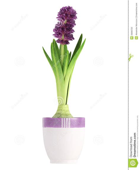 jacinthe pourpr 233 e mise en pot photos stock image 29060723