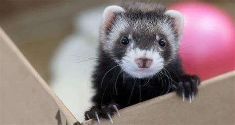 can ferrets eat tuna
