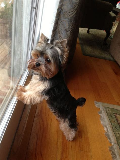 1000  ideas about Yorkshire Terrier Haircut on Pinterest