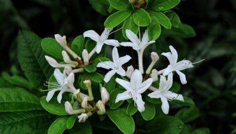 Lipīgais rododendrs (Rh. Viscosum (L.) Torr.
