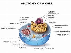 Information About The Smooth Endoplasmic Reticulum And Its Functions