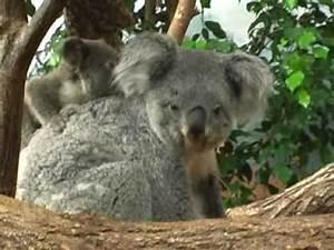 un bébé koala au ZooParc de Beauval. 1ere fois en France ...
