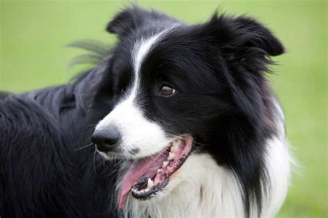 cuisine designe adopter un chien le border collie pratique fr