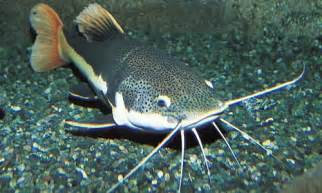 cat fish catfish animal wildlife